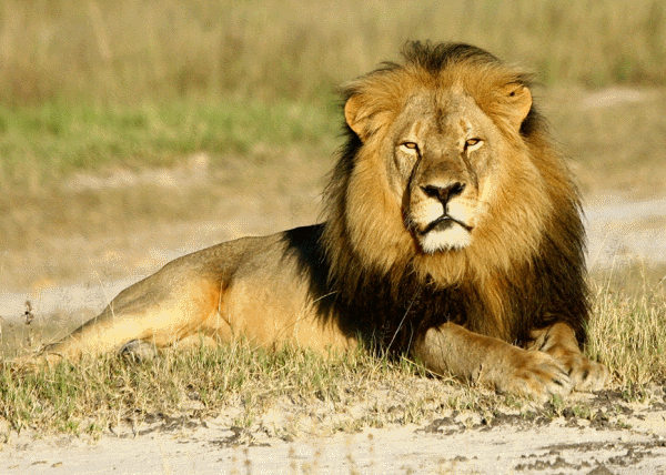 Cecil the Lion: The Reality of Lion Trophy Hunting