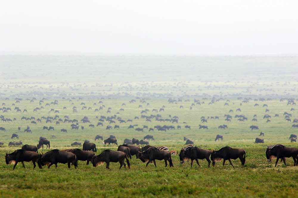 Migration herds Serengeti